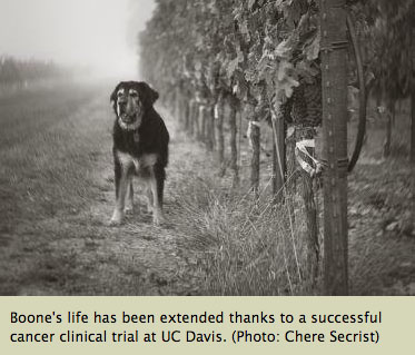 Boone the dog in a vineyard