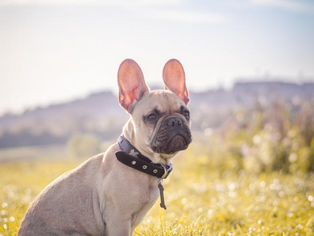 french bulldog in a field