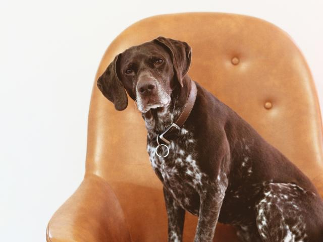 old dog sitting on a chair